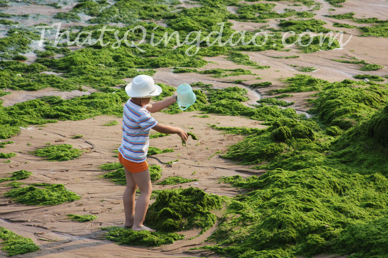 Qingdao Beach Algae – July 2012
