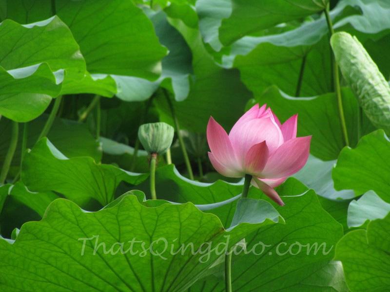 Qingdao ZhongShan Park Lotus